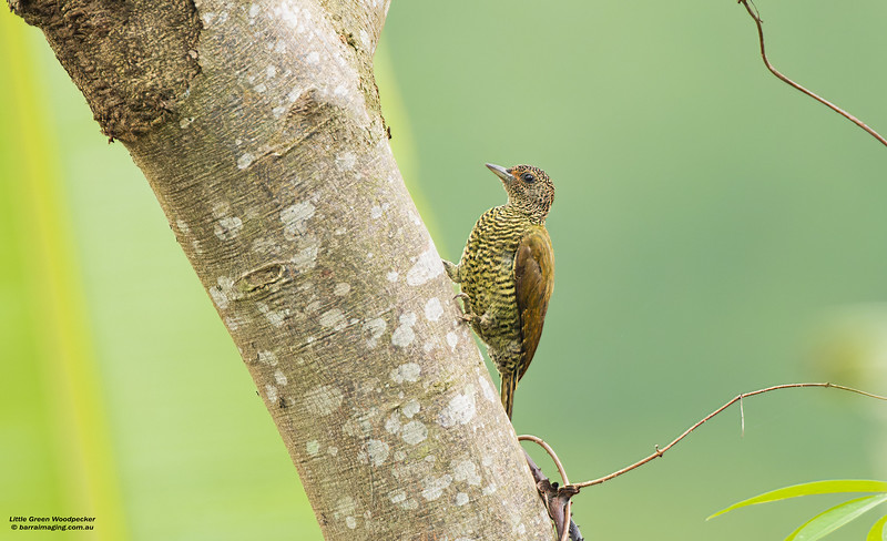 Little Green Woodpecker female
