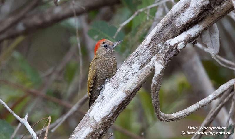 Little Woodpecker male