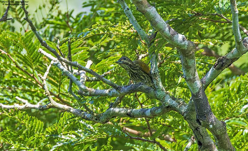 Melancholy Woodpecker female