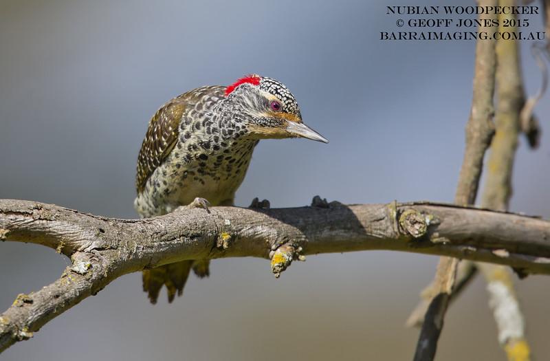 Nubian Woodpecker female