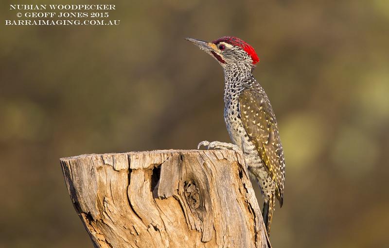 Nubian Woodpecker male