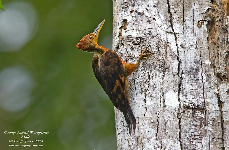 Orange-backed Woodpecker male