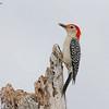 Red-bellied Woodpecker Melanerpes carolinus Lake Blue Cypress Florida May 2007 NA-