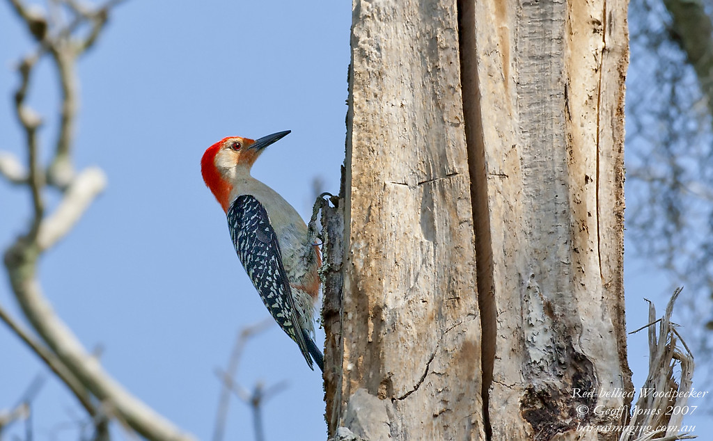 Red-bellied Woodpecker Melanerpes carolinus Lake Blue Cypress Florida May 2007 N