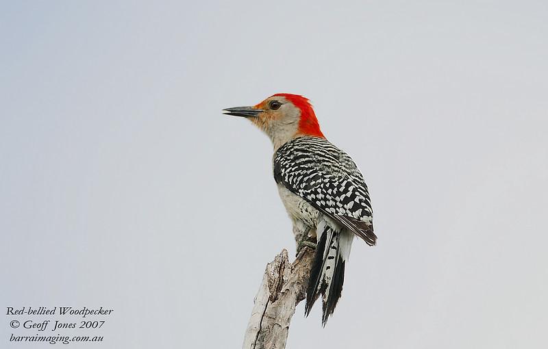 Red-bellied Woodpecker Melanerpes carolinus Lake Blue Cypress Florida May 2007 NA-RBW