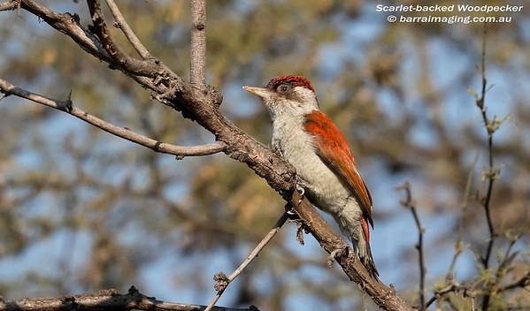 Scarlet-backed Woodpecker male