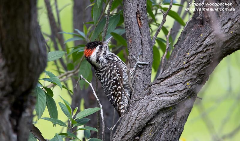 Striped Woodpecker male