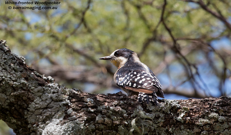 White-fronted Woodpecker male