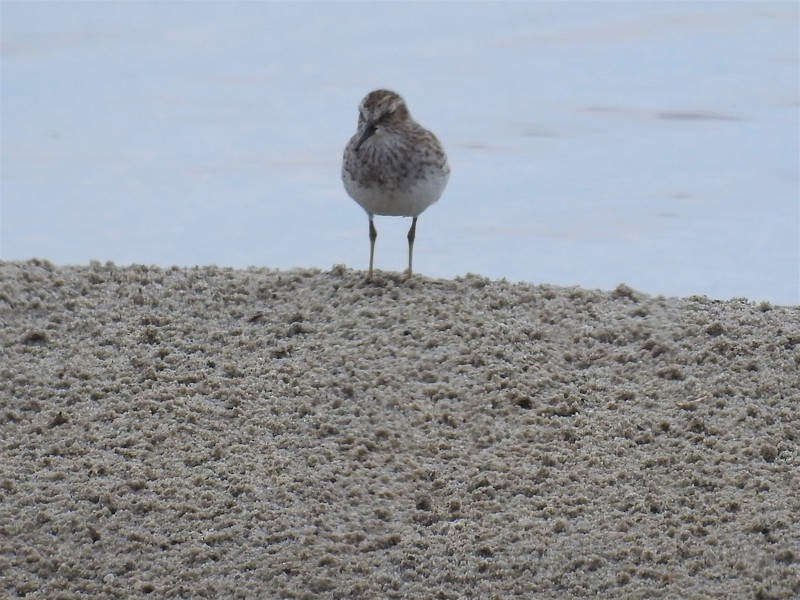 2019%2004%2022%20Unknown%20Sandpiper%20S