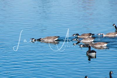 The Watchdogs... Canadian Geese