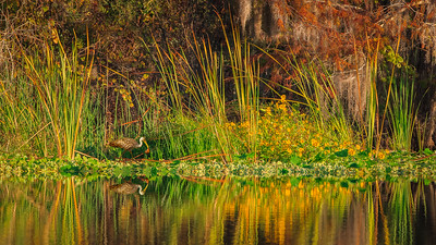 LIMPKIN IN AUTUMN SWAMPSCAPE