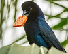 SNACKING GRACKLE