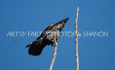 raven on stick