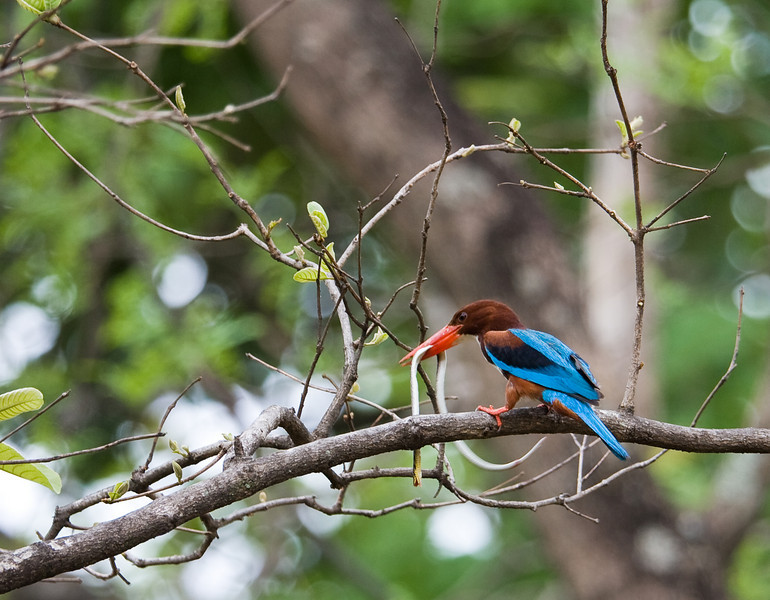 White-Throated Kingfisher (Halcyon smyrnensis).