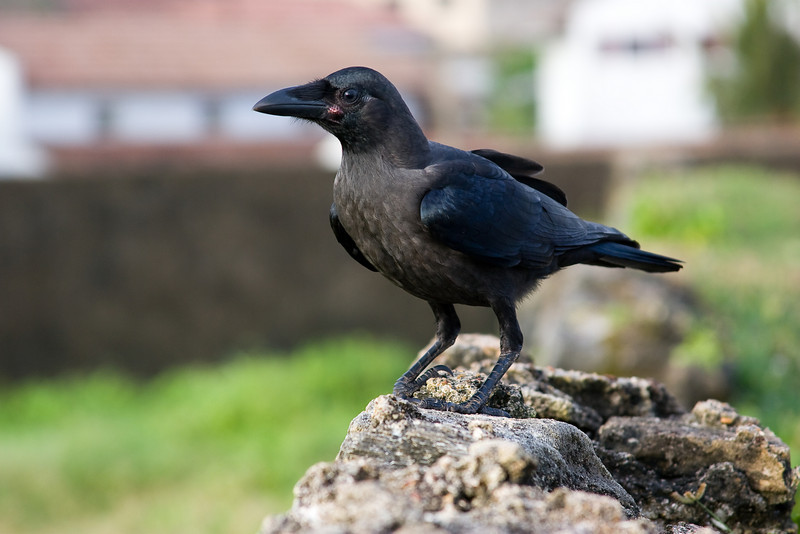 Colombo Crow (Corvus splendens).