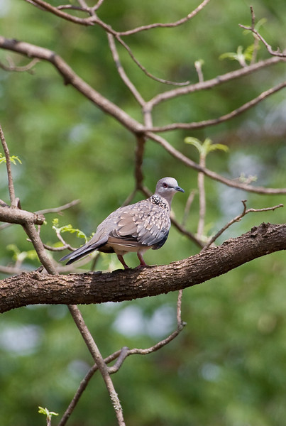 I think this is a Spotted Dove.<br /> <br /> Location: Pench National Park, India<br /> <br /> Lens used: Canon 100-400mm f4.5-5.6 IS
