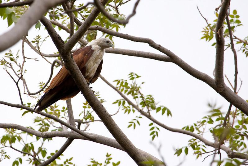 Brahminy Kite (Haliastur indus).