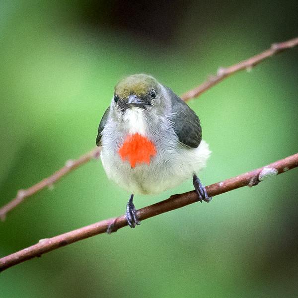 Olive-crowned Flowerpecker, male (Dicaeum pectoral).