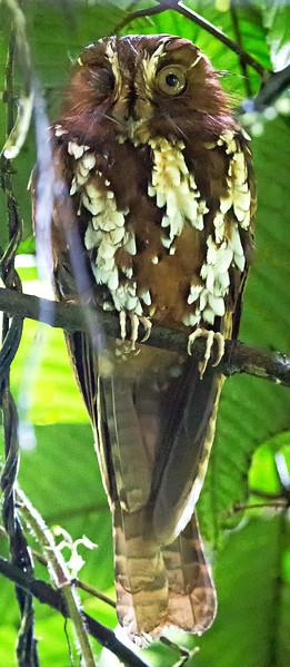 Feline Owlet-nightjar (Aegotheles insignis).