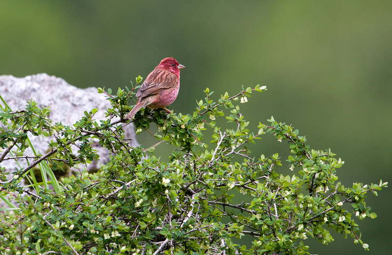 Pink-Browed Rosefinch, male (Carpodacus rodochroa).