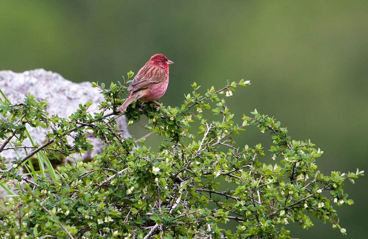 Pink-Browed Rosefinch, male (Carpodacus rodochroa).