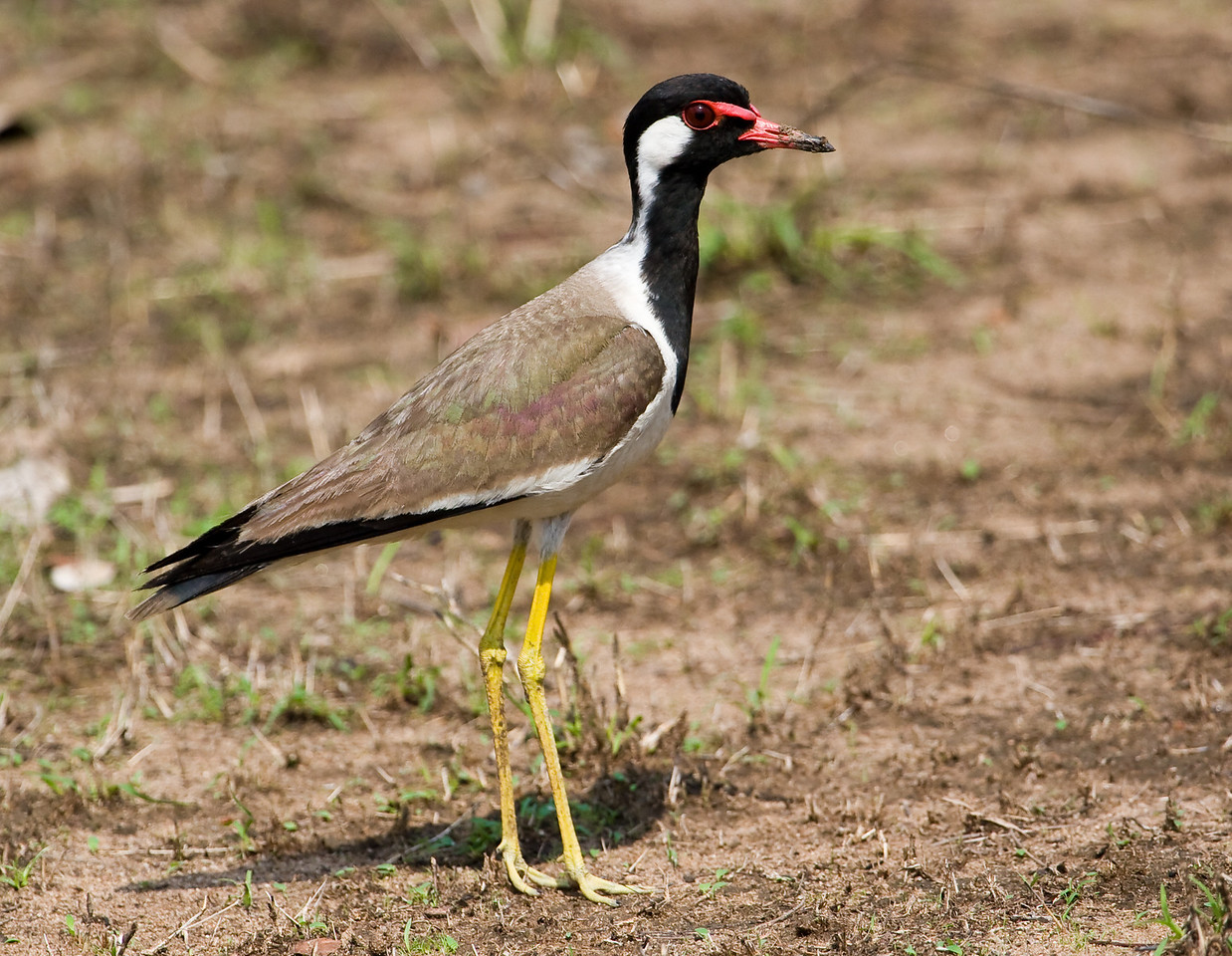 Red-Wattled Lapwing (Vanellus indicus).