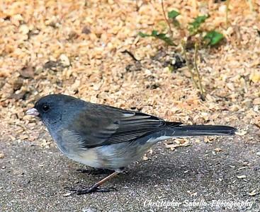 BIRDS BLACKED JUNCO