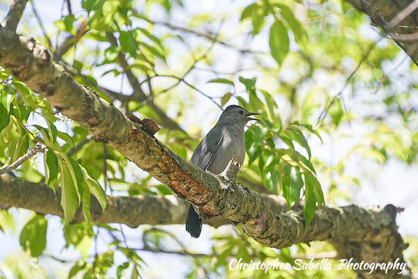 BIRDS GREY CATBIRDS