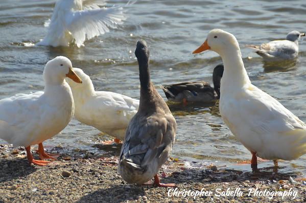 BIRDS DOMESTIC WHITE DUCKS