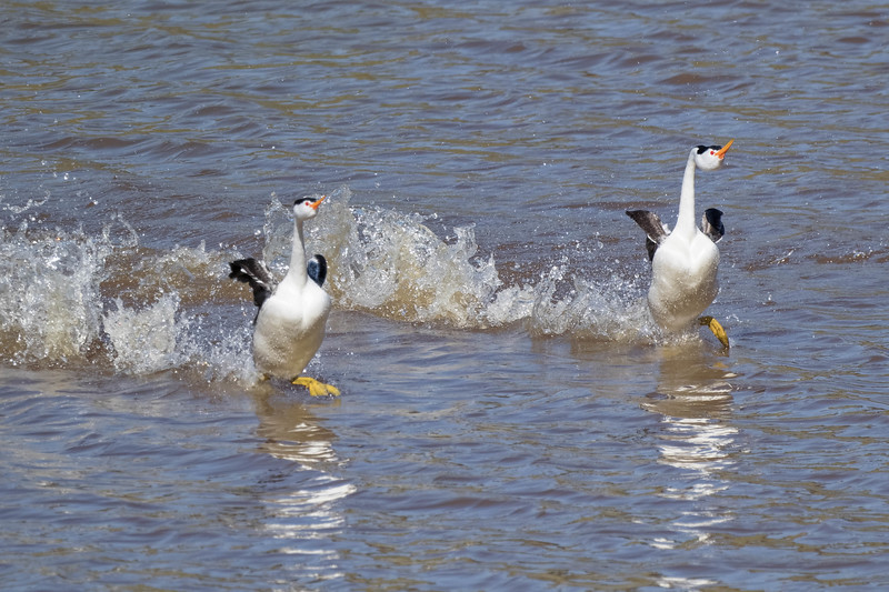 Clark's Grebes-  mating ritual<br /> Location:   San Diego county, CA