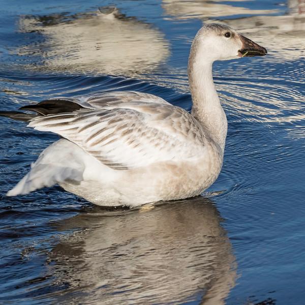 Snow Goose<br /> Location: Sarasota County, FL