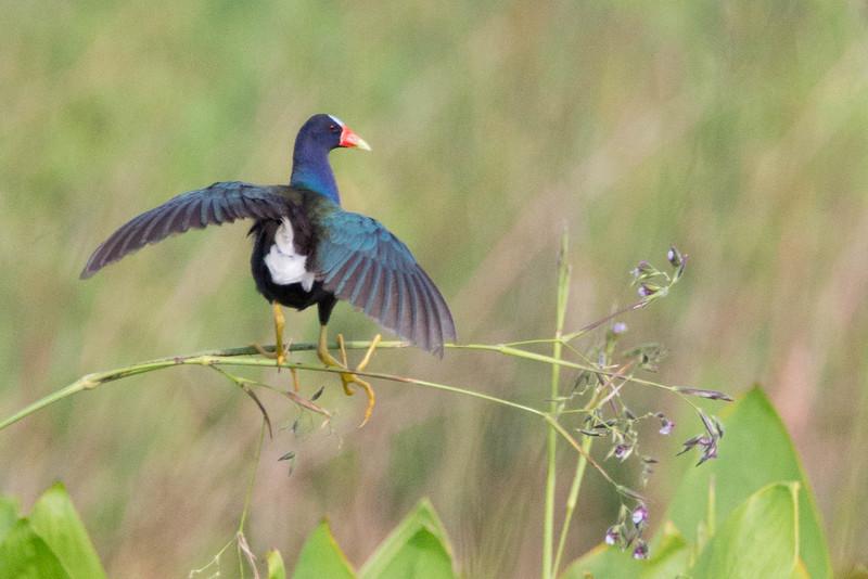 Purple Gallinule, on Alligator Flag<br /> Location: Sarasota county, FL