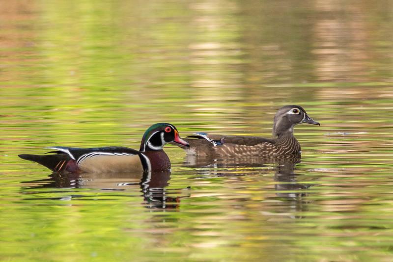 Wood ducks<br /> Location: Sarasota county, FL