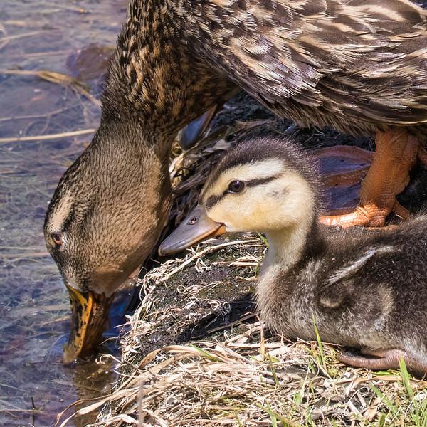 Mallard and duckling<br /> Sarasota county, FL<br /> Rand Blvd