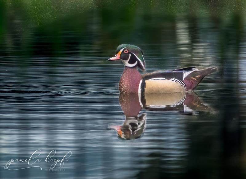 Wood Duck<br /> Sarasota county, FL<br /> Suncoast Pond