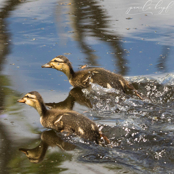 Mallard Ducklings<br /> Sarasota county, FL<br /> Rand Blvd.