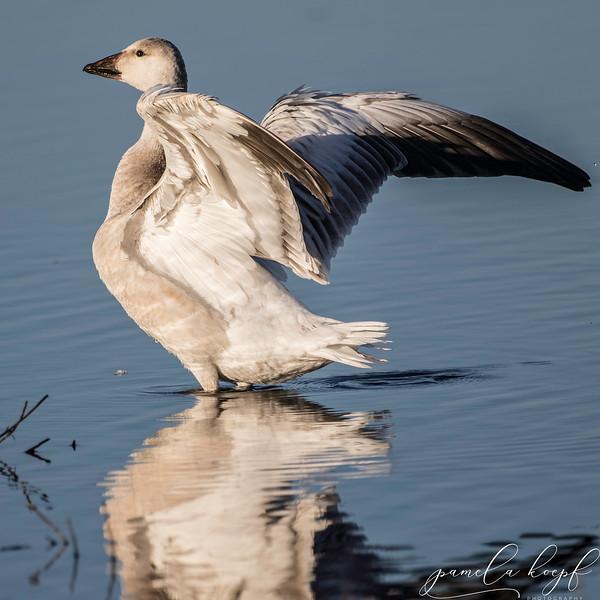 Snow Goose<br /> Sarasota county, FL<br /> Myakka River State Park
