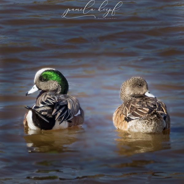 American Wigeons<br /> San Diego county, CA<br /> Lake Hodges
