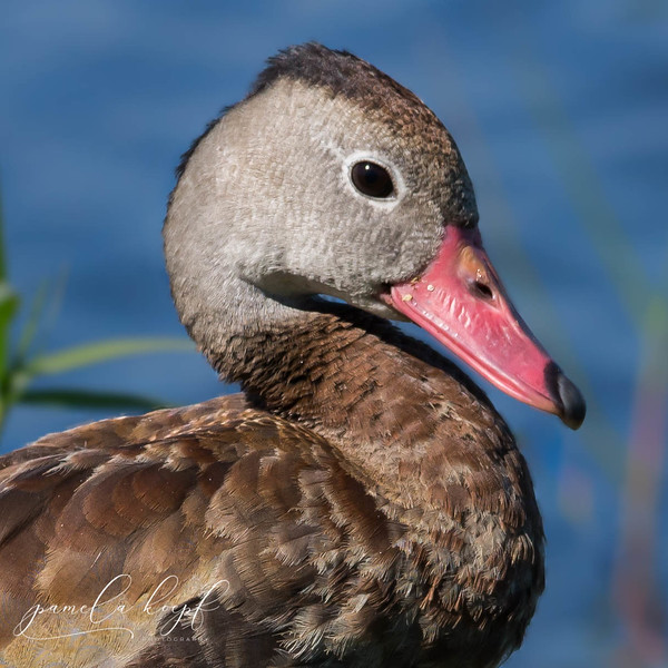Black-bellied Whistling Duck<br /> Sarasota county, FL<br /> Venice Rookery