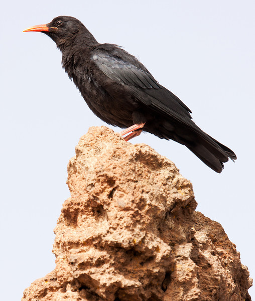 Red-Billed Chough (Pyrrhocorax pyrrhocorax barbarus).