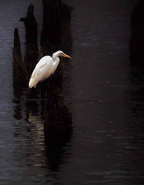 White Egret wait #1