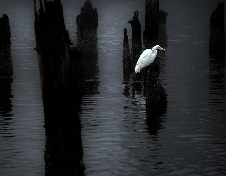 White Egret wait #3