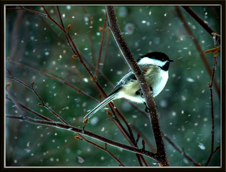 snow chickadee
