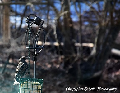 BIRDS GRACKLE