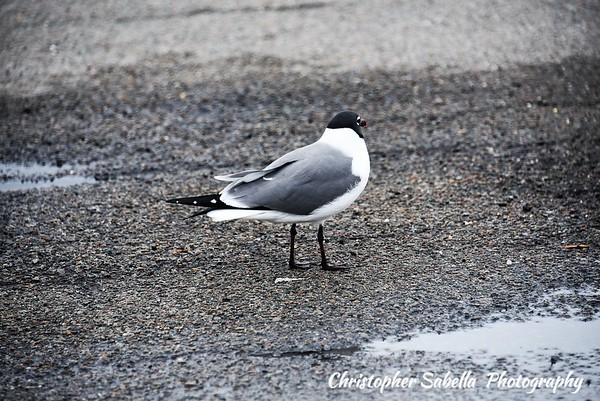 BIRDS LAUGHING GULLS