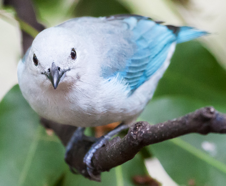 Blue-Gray Tanager (Thraupis episcopus).