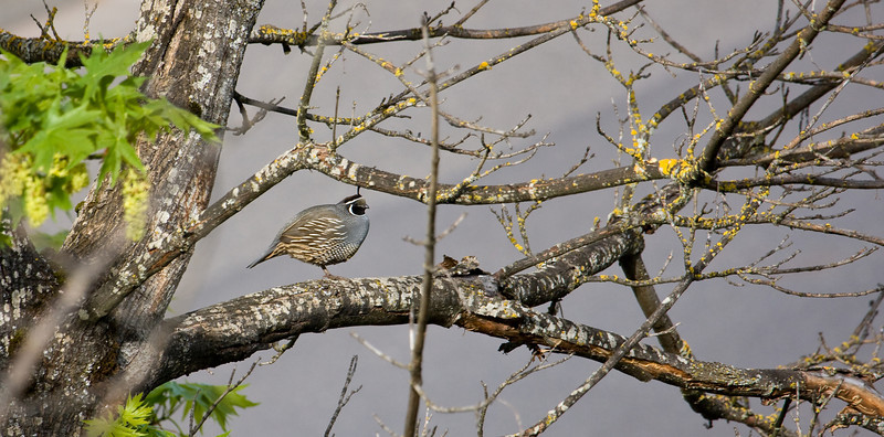 A lone quail in a tree.<br /> <br /> Location: Hood River, Oregon<br /> <br /> Lens used: Canon 100-400mm f4.5-5.6 IS