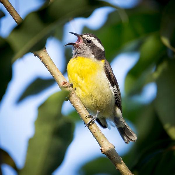 Bananaquit (Coereba flaveola).