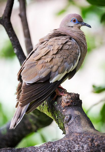 White-winged Dove (Zenaida asiatica).