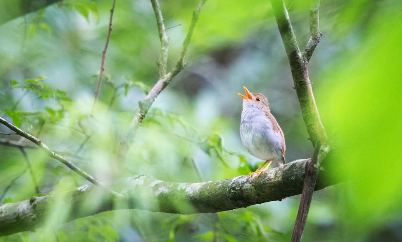Orange-billed Nightingale-Thrush (Catharus aurantiirostris).